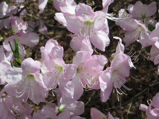 Other Cherry Blossom